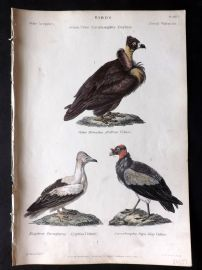 Richardson 1862 HCol Bird Print. Neophron, Egyptian Vulture, King Vulture